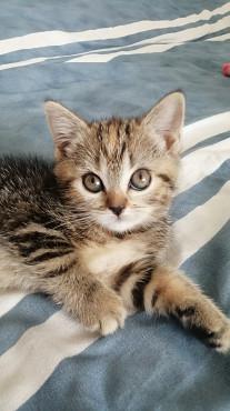 шотландские котята скоттиш фолд и страйт Нур-Султан
