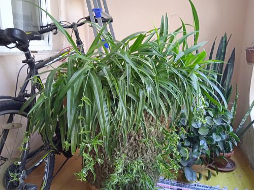 Комнатные растения Хлорофитрум Алматы