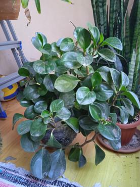 Комнатные растения Пиперония большая Алматы
