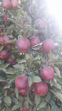 Яблоки КРУПНЫЙ ОПТ из Кыргызстана Алматы